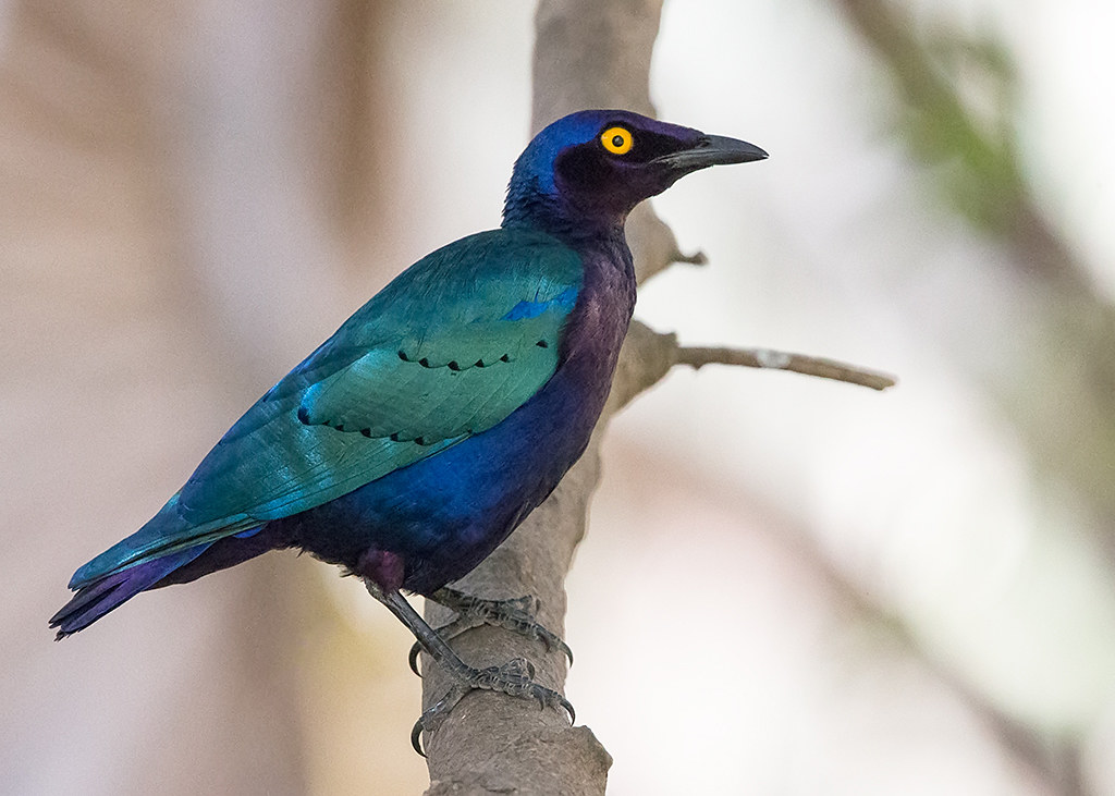 Purple Glossy Starling  Gambia