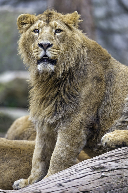 Pretty young male Asiatic lion