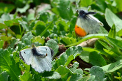"""""""The Mating Game"""" ... Orange Tip Butterflies"""