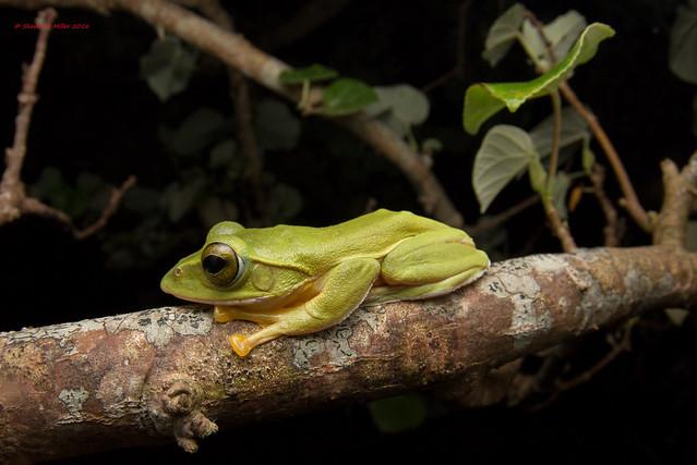 Okinawa Green Tree Frog - natural habitat