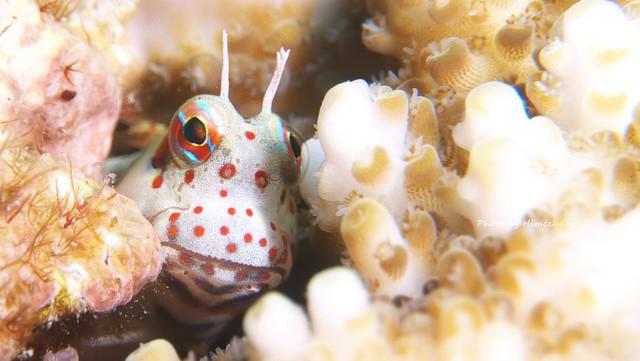 モンツキカエルウオ幼魚♪