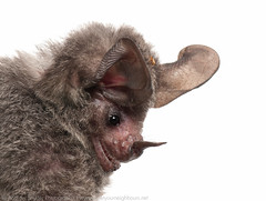 Stripe-headed round-eared bat