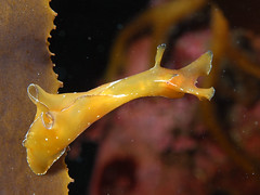 アマクサアメフラシ Aplysia juliana