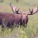 Denali Moose - 3rd Place Novice - Virginia Staat