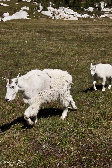 goats8