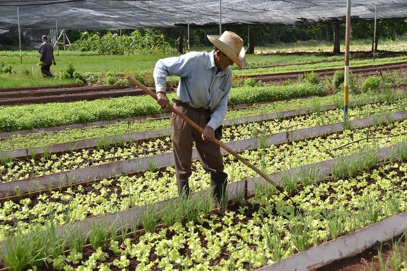 Trabalhador em cooperativa agrícola cubana. Foto: FAO