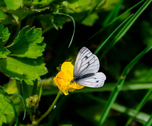 Butterfly on a Buttercup