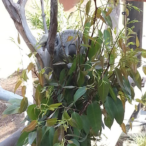 Hungry koala at #AustralianOutback @sandiegozoo