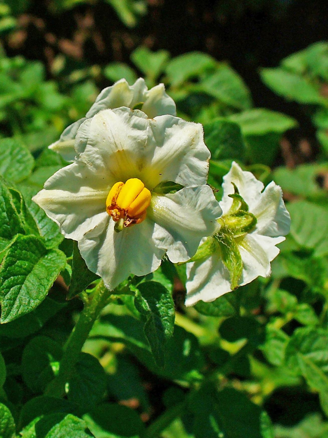 Planta y flor de la patata. Autor H. Zell