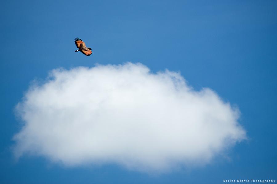 Águila Colorada / Savanna Hawk