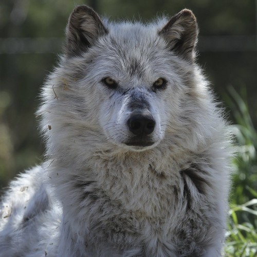 Wolf Discovery Center - West Yellowstone by ernogy