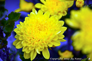 ✿ Beautiful flower ✿ Chrysanthemum