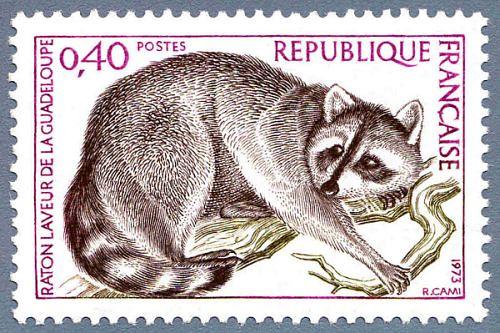 Raton-laveur de la Guadeloupe.