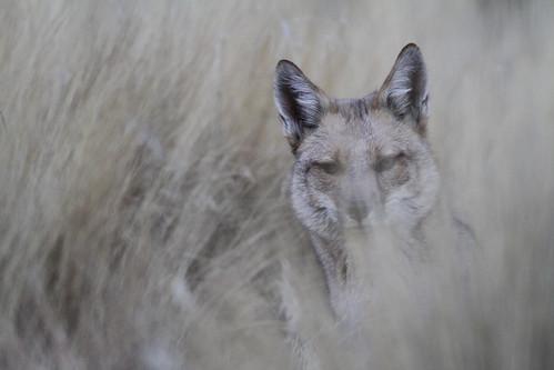 Andean (Culpeo) Fox