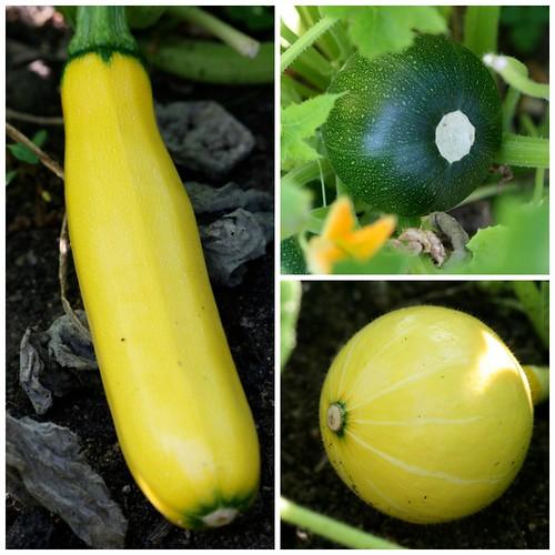 Courgettes Zucchini