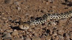 Bull Snake No. 2