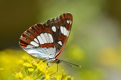 Limenitis reducta - Photo of Trausse
