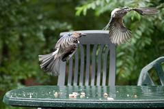 Fly by van een Vlaamse gaai