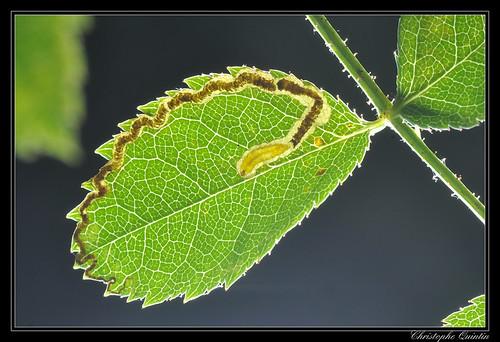 Mine et larve de Stigmella anomalella sur Rosa canina
