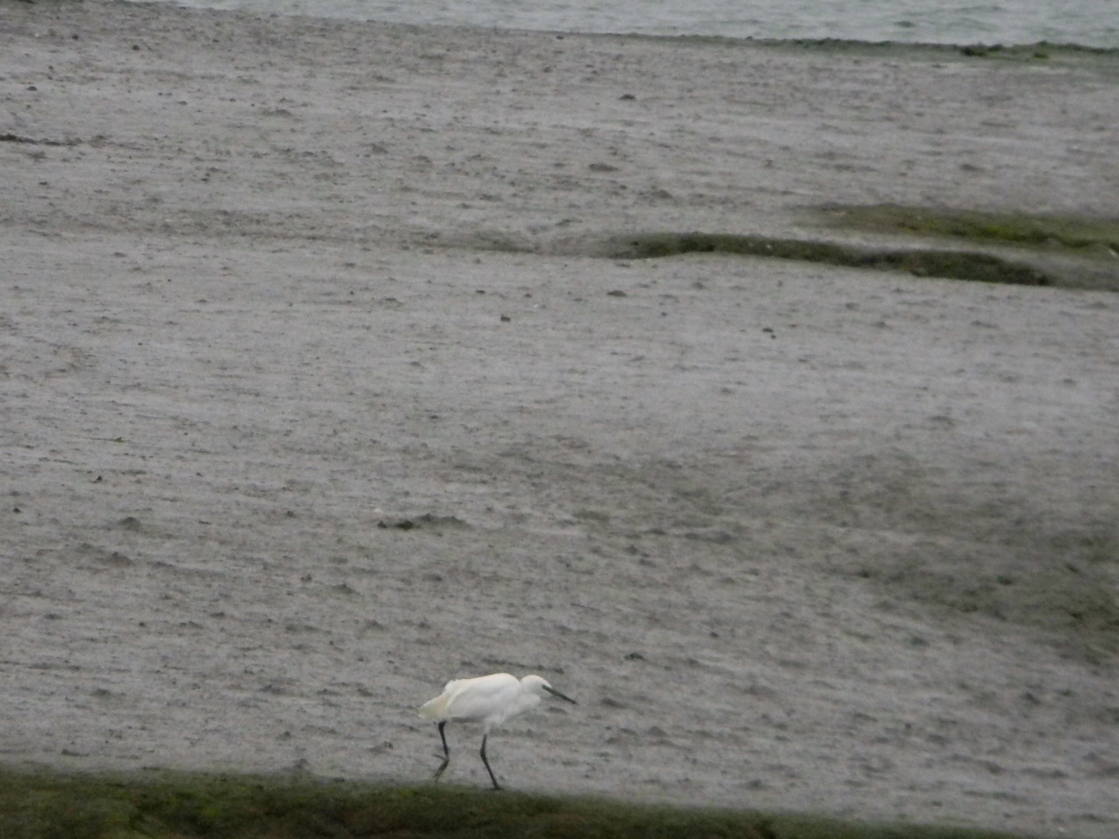 Little egret Chichester to West Wittering