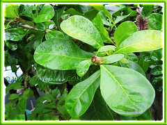 Obovate or spoon-shaped leaves of Crescentia cujete (Calabash Tree), 23 Aug 2013