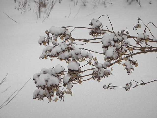 ノリウツギの花殻.雪が重そう.