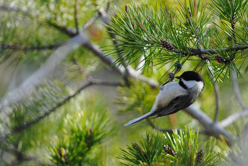 Черношапочная гаичка (Black-capped Chickadee)