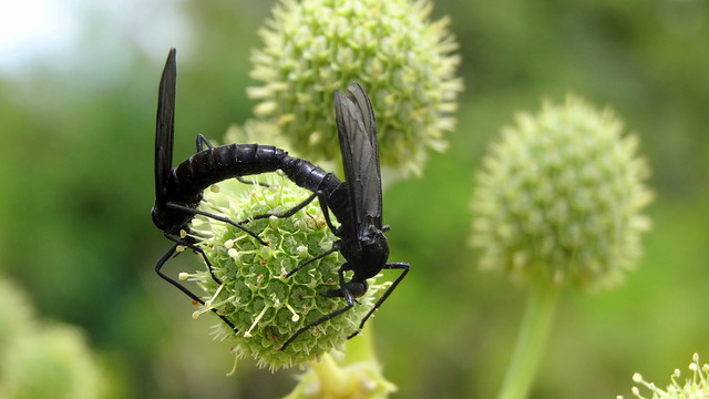 Black insects