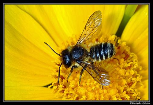 Megachile sp. mâle
