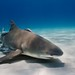 Lemon Shark - Bahamas by James R.D. Scott