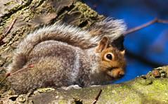 rodent(0.0), pet(0.0), degu(0.0), gerbil(0.0), animal(1.0), squirrel(1.0), fox squirrel(1.0), mammal(1.0), fauna(1.0), whiskers(1.0), wildlife(1.0),