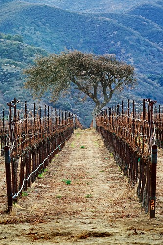 california winter landscape vineyard grapevine salinasvalley {vision}:{outdoor}=0919