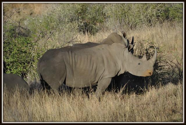 BIG 5 - Rhino