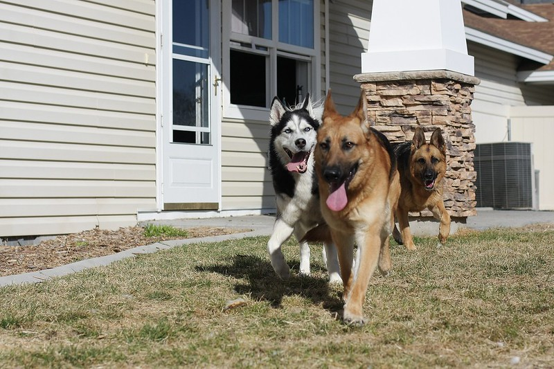 Playdate pics with our 3 and a GSD we might be adopting soon! 12961921754_54608c6b9e_c