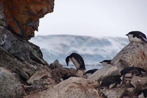 020 Wandeling Halfmoon Island - kinbandpinguins