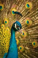 Mr Peacock // 09 03 14