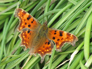 Comma Butterfly open