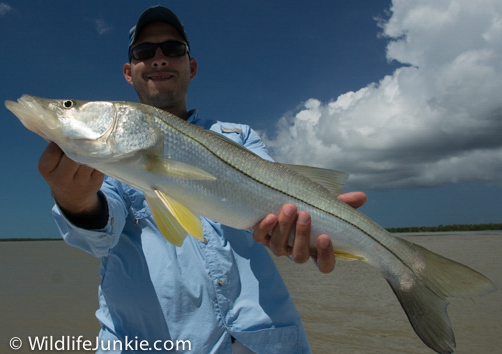 Nice Snook Everglades