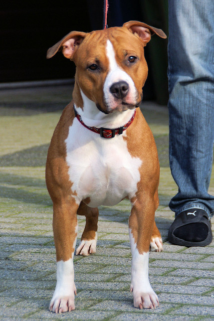 American Staffordshire Terrier Pictures and Informations ... American Staffordshire Terrier 2014