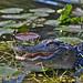 American alligator by Abby Leigh photos