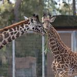 Giraffes, San Diego Zoo
