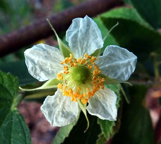 Strawberry Tree  #3: FLOWER