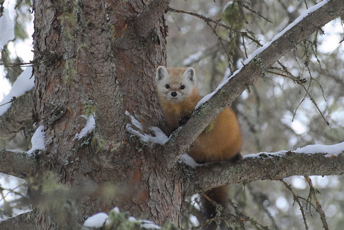 Pine Marten, Algonquin Provincial Park, Nipissing District, Ontario | by streamcruiser