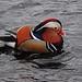 Mandarin Duck by Alastair Blackwood