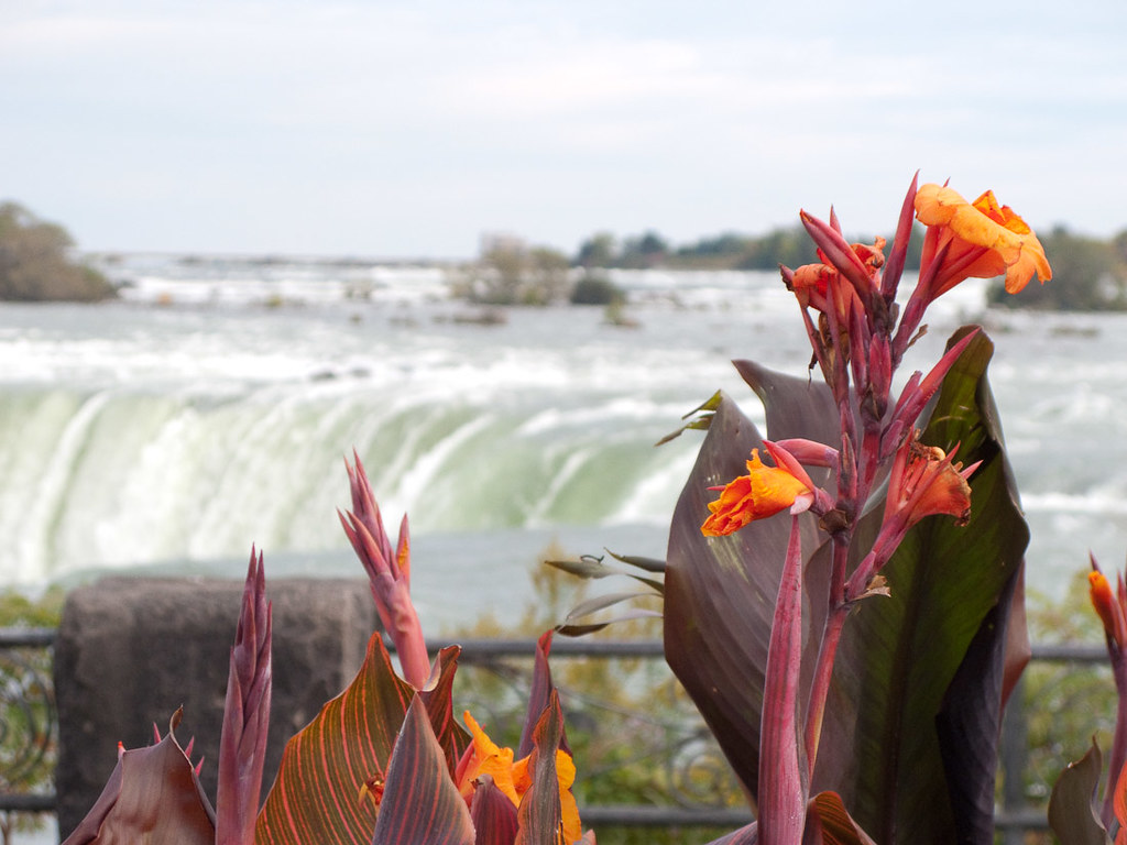 Flowers in foreground near Niagara Falls