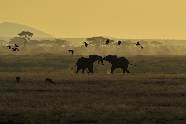 Elefantes en el Parque Nacional de Amboseli, Kenia, África.