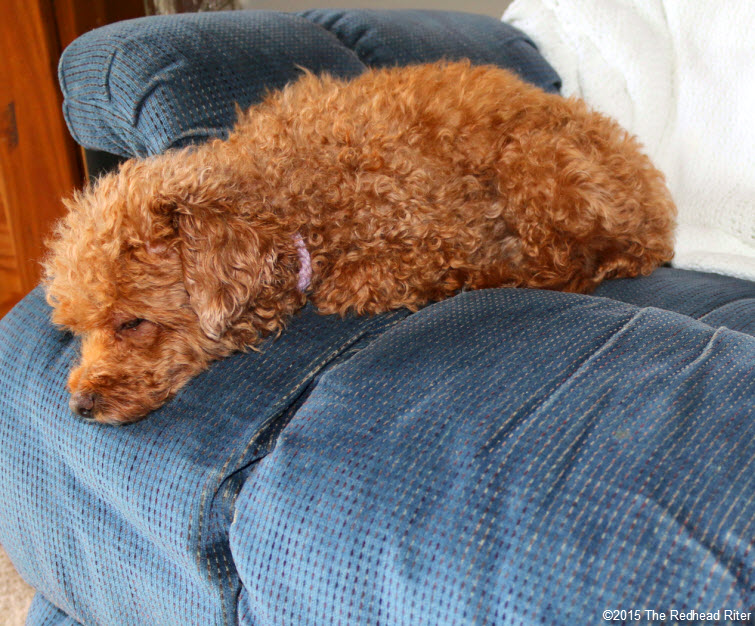 Bella red toy poodle Some Things Are Better Left Unsaid…Or Not