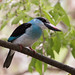 Blue Breasted Kingfisher -Halcyon malimbica