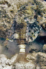 Lion fish, puffer, and a few cleaner wrasse