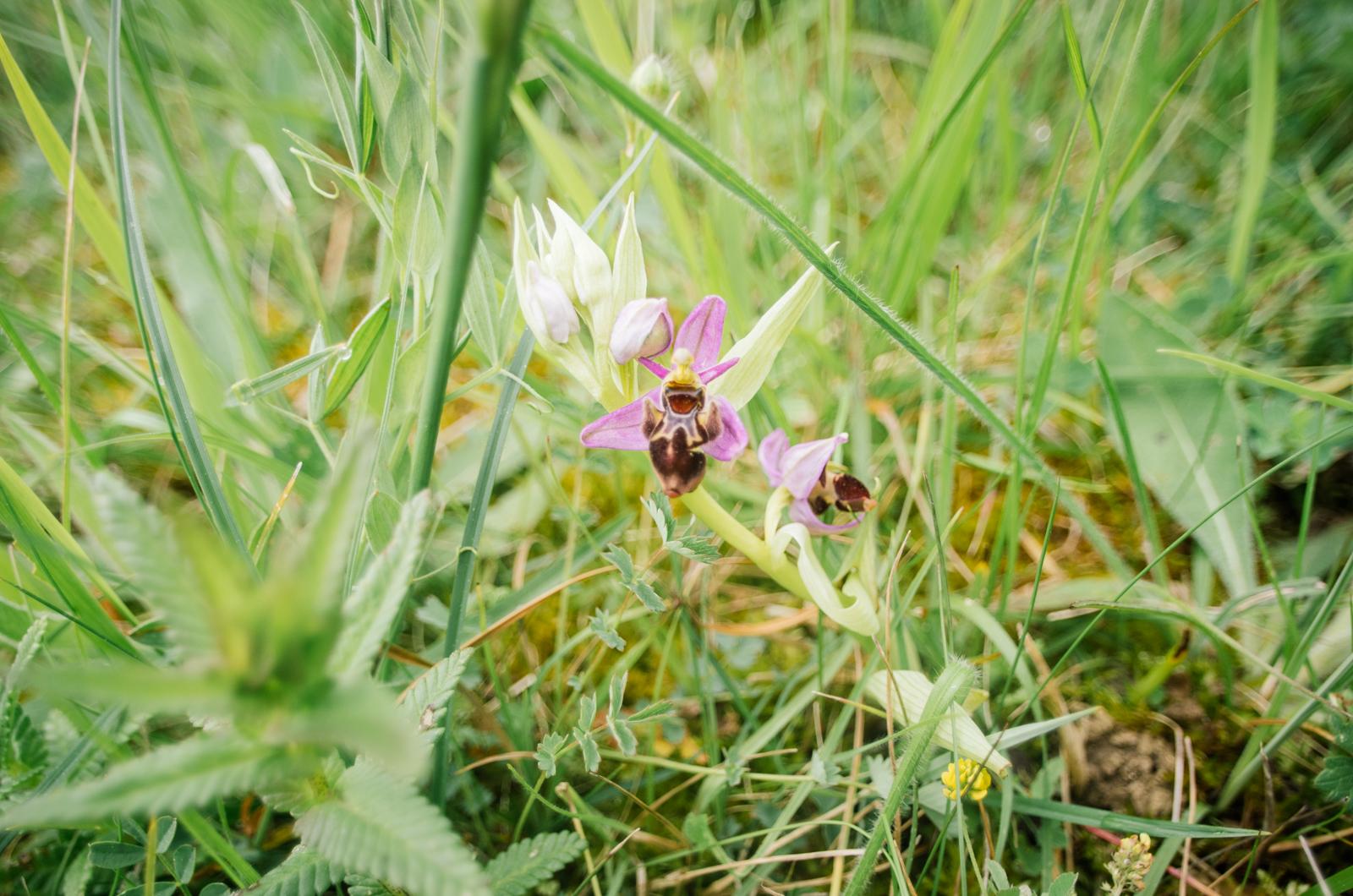 À la recherche des orchidées - Carnet de voyage dans le Gers